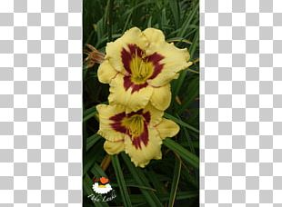 Cut Flowers Daylily PNG