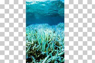 Coral Reef Great Barrier Reef Coral Bleaching PNG