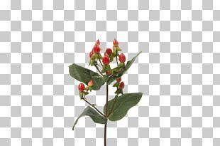 Cut Flowers Bud Hypericum Plant Stem PNG