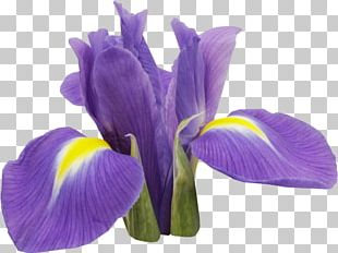 Orris Root Irises Flower PNG