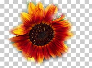 Transvaal Daisy Sunflower M Close-up PNG