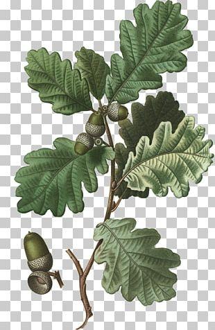 English Oak White Oak Sessile Oak Tree Acorn PNG