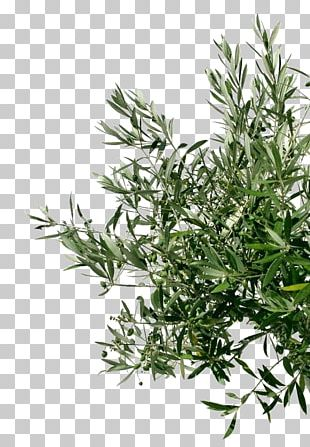 Olive Oil Tree Stock Photography Branch PNG