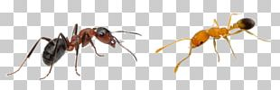 Pharaoh Ant Insect Pest Hymenopterans PNG