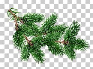 Blue Spruce Tree Fir Branch Pine PNG