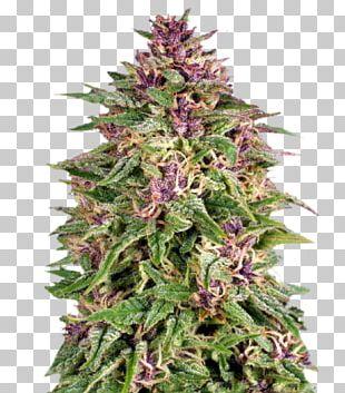 Skunk Frisians Marijuana Cannabis Sativa Cannabis Cultivation PNG