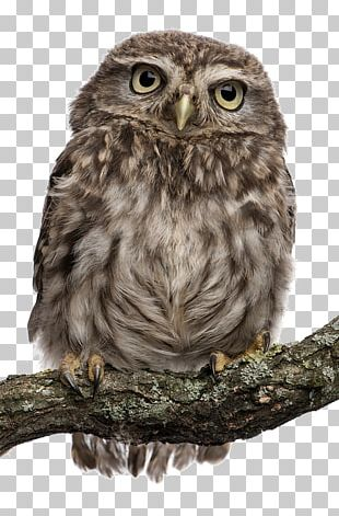 Snowy Owl Bird Stock Photography Northern White-faced Owl PNG