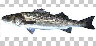 Bass Oily Fish Fish Products Herring Barramundi PNG