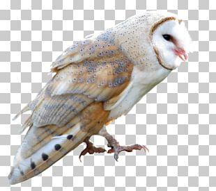 Barn Owl True Owl Barn-owl PNG