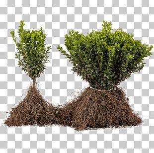 Tree Shrub Evergreen Flowerpot Herb PNG