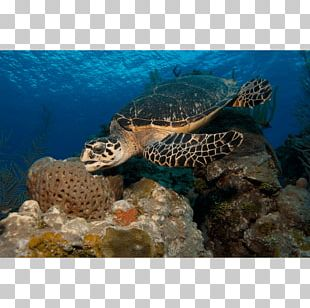 Loggerhead Sea Turtle Hawksbill Sea Turtle Coral Reef Box Turtle PNG