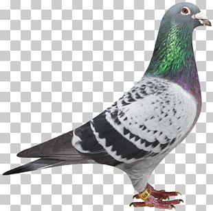 Racing Homer Columbidae Homing Pigeon PNG