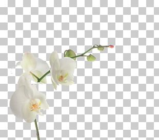 Cut Flowers Moth Orchids Plant Stem Artificial Flower PNG