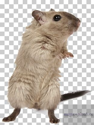Rodent Hamster Brown Rat Mouse Mongolian Gerbil PNG