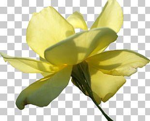 Beach Rose Flower Yellow PNG