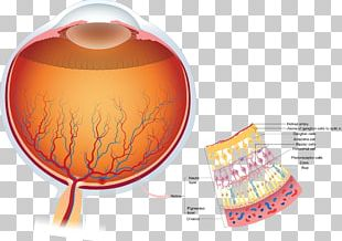 Retina Human Eye Anatomy Visual Perception PNG