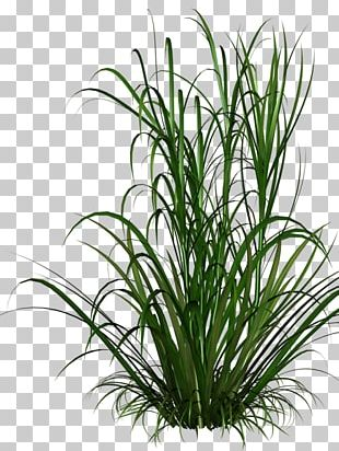 Ornamental Grass Grasses Lawn Ornamental Plant PNG