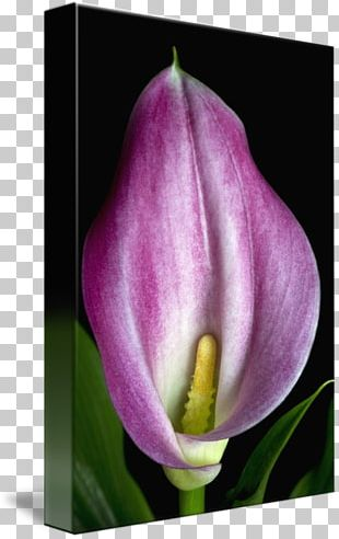 Tulip Desktop Plant Stem Bud Petal PNG