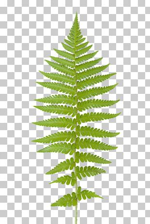 Red Maple Maple Leaf Cedrus Libani Fern PNG