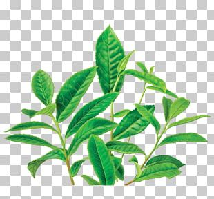 Green Tea Organic Food Masala Chai Decaffeination PNG