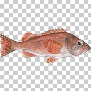 Northern Red Snapper Fish Products Redfish Seafood Fishing PNG