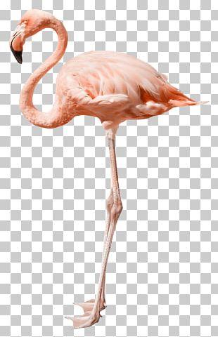 Flamingo Stock Photography PNG