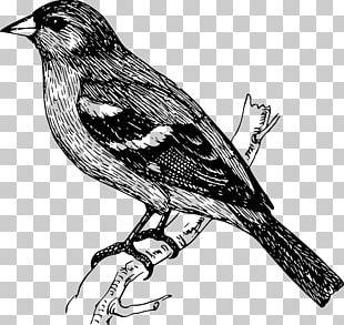 Bird Finch Drawing PNG