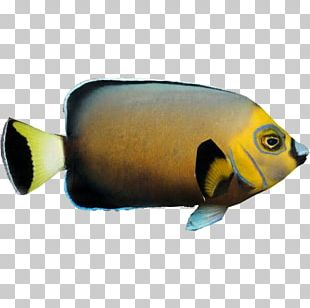 Bony Fishes Marine Biology Fauna Coral Reef Fish PNG