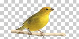 Atlantic Canary Saffron Finch Bird Pet Passerine PNG