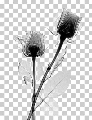 X-ray Rose Flower Rosaceae Radiography PNG