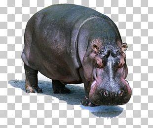 Pygmy Hippopotamus Dog Lion Domestic Pig PNG