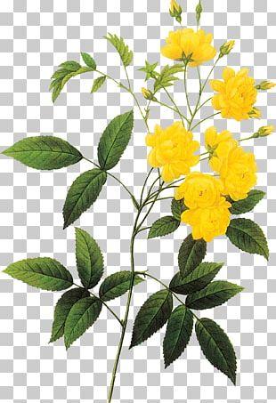 Botanical Illustration Rose Botany Drawing PNG