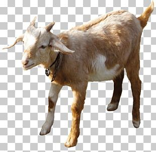 Boer Goat Sheep Farming Goat Farming Sheep–goat Hybrid PNG