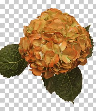 Hydrangea Flowers Gallery Orange Red Cut Flowers PNG
