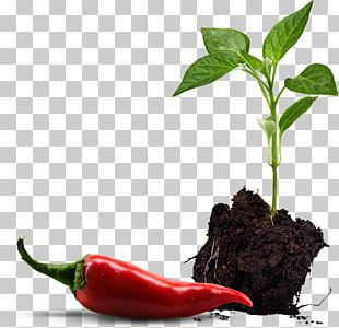 Paprika Bell Pepper Chili Pepper Vegetable Seedling PNG