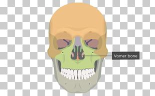 Vomer Lacrimal Bone Human Skeleton Anatomy PNG