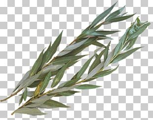 Aravah Four Species Sukkot Lulav Hadass PNG