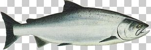 King Salmon Chinook Salmon Sockeye Salmon Chum Salmon PNG