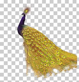 Mobile App Android Peafowl Icon PNG
