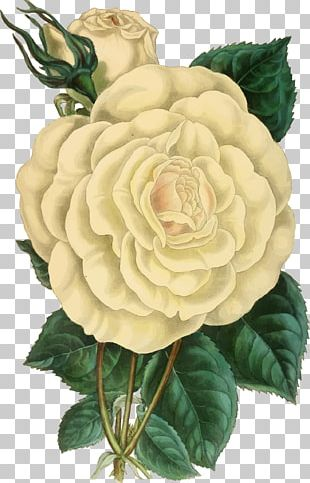 Botanical Illustration Rose Drawing PNG
