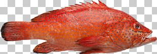 Northern Red Snapper Red Grouper Fish White Grouper Brown Spotted Reef Cod PNG