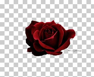 Rose Red Icon PNG