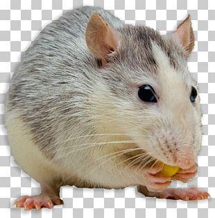 Mouse Black Rat Dog Fancy Rat Female PNG