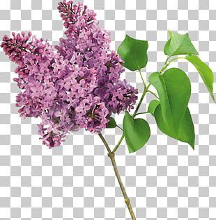 Lilac Tree Shrub Garden PNG