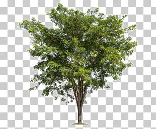 Tree Branch Forest PNG