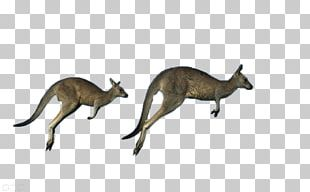 Australia Red Kangaroo Antilopine Kangaroo Eastern Grey Kangaroo Western Grey Kangaroo PNG