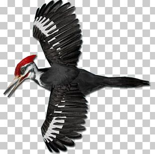 Pileated Woodpecker Piciformes PNG