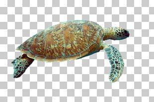 Box Turtle Reptile Sea Turtle Tortoise PNG