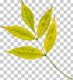 Autumn Leaf Color Tree Photosynthesis PNG