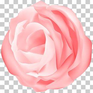 Garden Roses Cabbage Rose Floribunda Cut Flowers Petal PNG